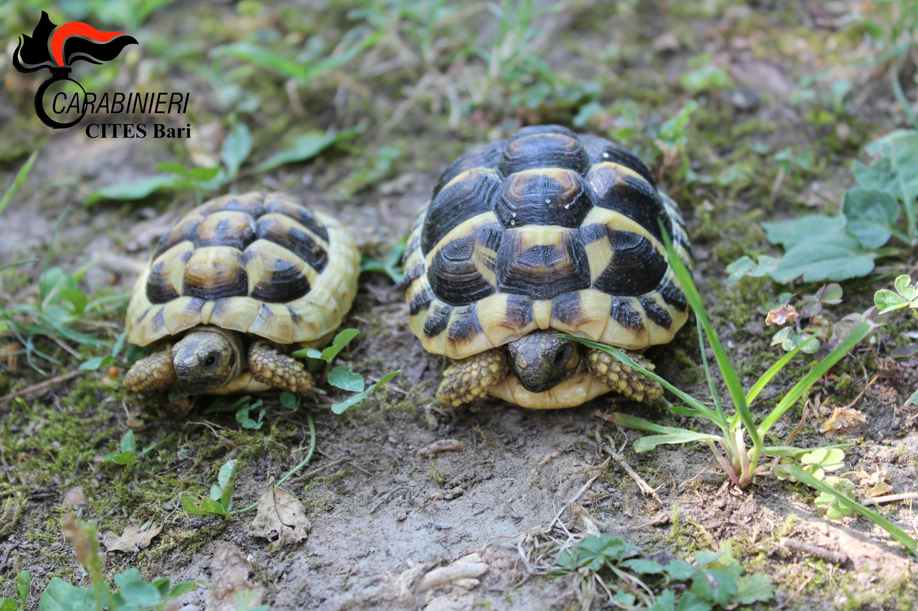 Lecce blitz del cites sequestrate tartarughe protette e for Tartarughe di terra prezzo basso
